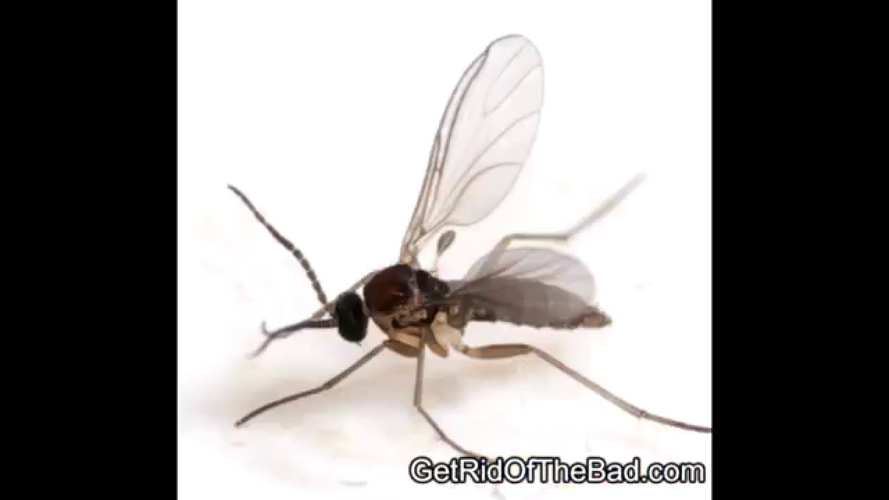 Small Gnats In Kitchen How To Get Rid Of Gnats In Your House Kill Them Fast Youtube