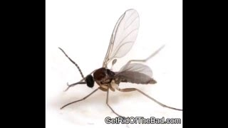 How to Get Rid of Gnats in your House (Kill them fast!)
