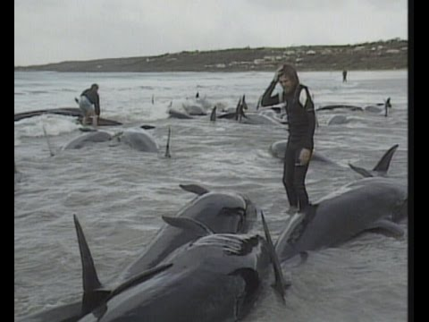 The Great Australian Whale Rescue, Lost Angels | Storyteller Media