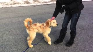 5 Month Old Golden Doodle - Off Leash Remote Collar Recall Training