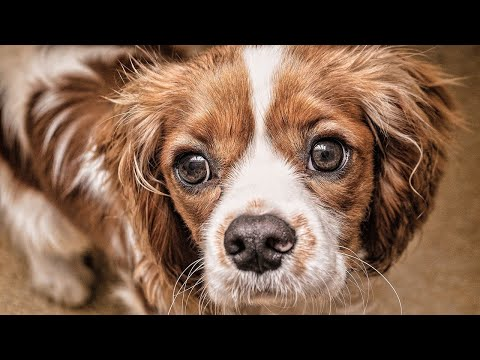 Amazing Facts on Cavalier King Charles Spaniel | In Hindi | Dog Section | Animal Channel Hindi