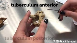 Columna Vertebralis/Servikal Vertebra