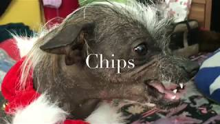 V.A. Laughing dog Chipsy and lovely cat - chinese crested dog fun