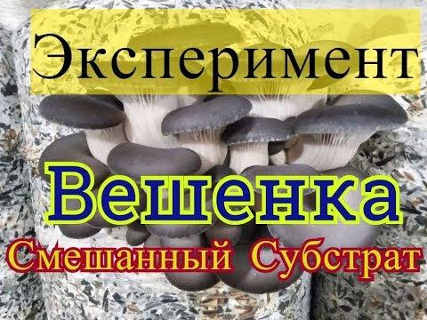 гриб львиная грива выращивание на опилках