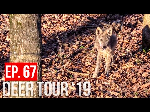COYOTES EAT BIG BUCK! -Public Land Deer Hunting