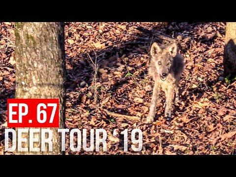 COYOTES EAT BIG BUCK! -Public Land Deer Hunting