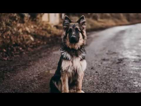 is-a-german-shepherd-a-good-family-dog