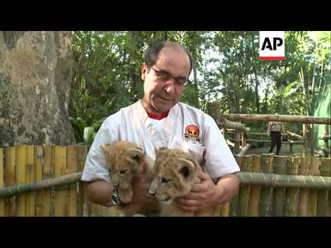 Two lion cubs, born in animal reserve and rejected by mother, survive critical first eight weeks
