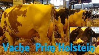 Vache Prim'Holstein - Bos taurus - Linnaeus, 1758 - Salon de l'Agriculture 2015 - 03/2015