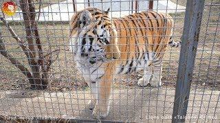 Дикие кошки Тайгана. Wild cats of Taigan. Taigan.