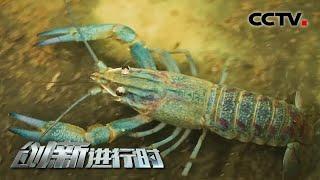 《创新进行时》 20201222 虾农致富记(三)  CCTV科教 - YouTube
