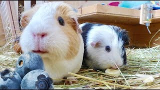 Guinea Pig Safe Fruits
