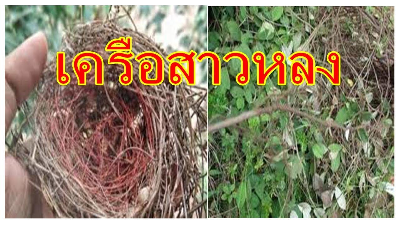 เครือสาวหลง  : ว่านอาถรรพ์แห่งพงไพร ทำให้พระสงฆ์หลงป่า  3 รูป
