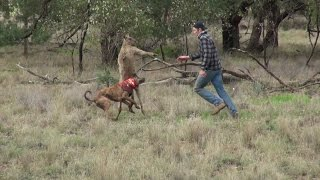 Man punches a kangaroo in the face to rescue his dog [HD]