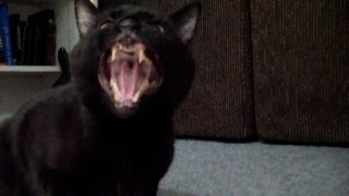cat sings roar the voice