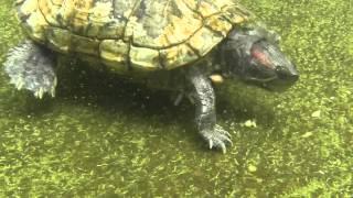 Jicotea (Trachemys stejnegeri stejnegeri) - Puerto Rican Turtle