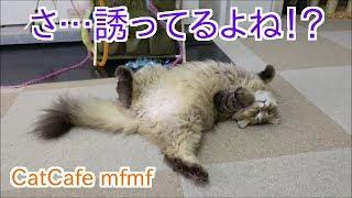 横浜関内【猫カフェmfmf】にて アーサーが誘ってる!? CatCafe mfmf 多田あさみ 動画 21