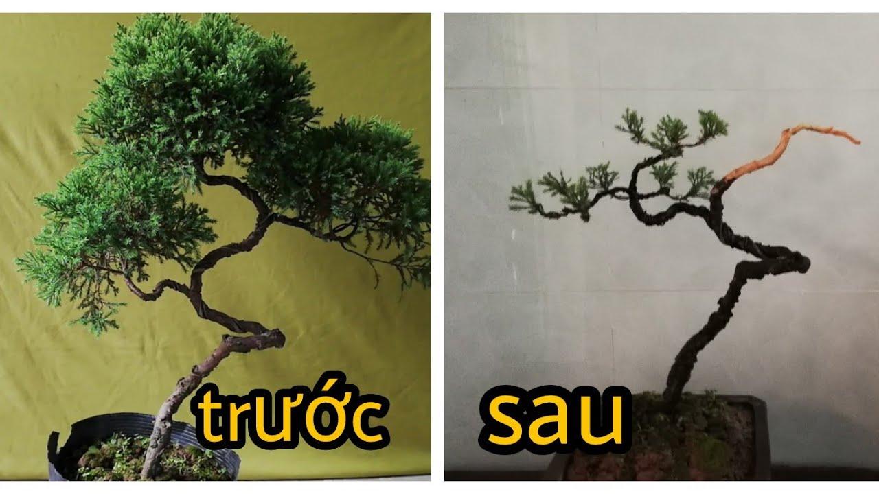 Phá thế cây tùng cối bonsai thân quái   How to create a bonsai tree