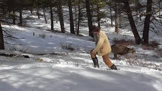 Releasing a Deer from a Wolf Trap (the hard way!)