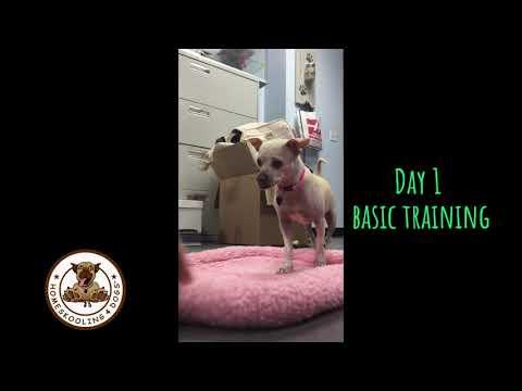 training-chihuahua-shelter-dog---day-1