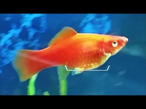 How To Tell If Female Swordtail Is Pregnant And When It Will Give Birth
