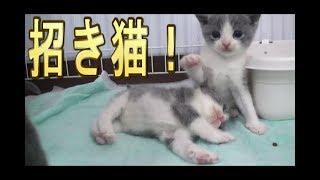 【猫好き】招き猫!(マンチカン)《funny cats》