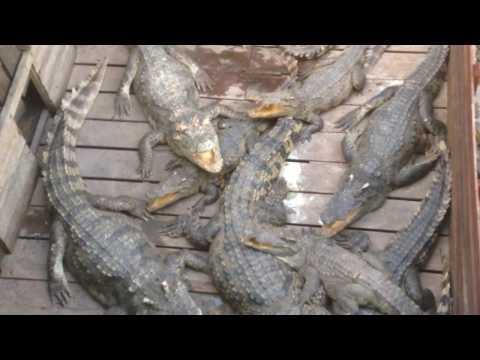 Crocodiles at Tonle Sap Lake