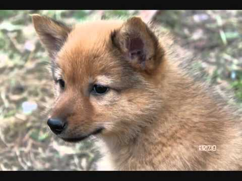 Finnish Spitz puppies kissing ♥