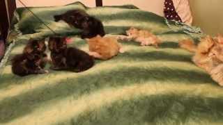 Котята мейн-куны играются, возраст 6 недель