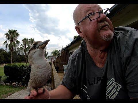 How To Age A Kookaburra