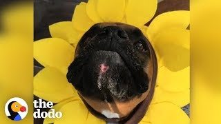 4 Reasons Why Boxer Dogs Are the Weirdest (But the Cutest) | The Dodo