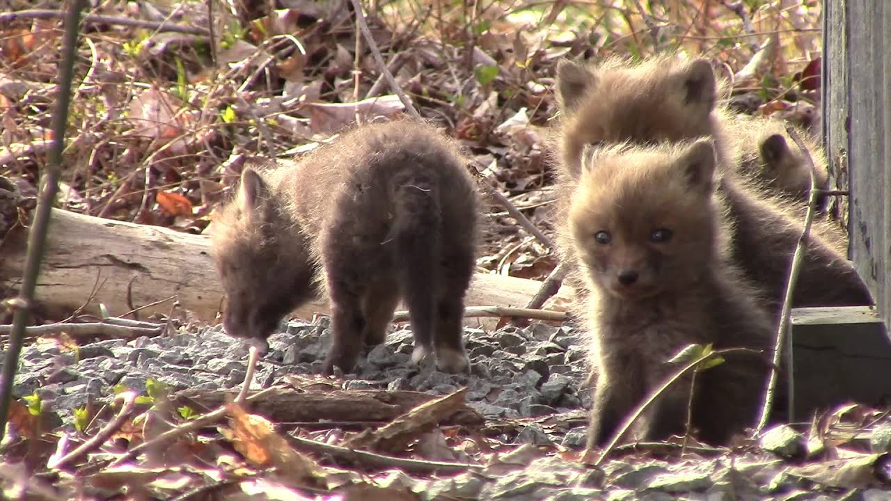 Baby foxes in my yard - YouTube