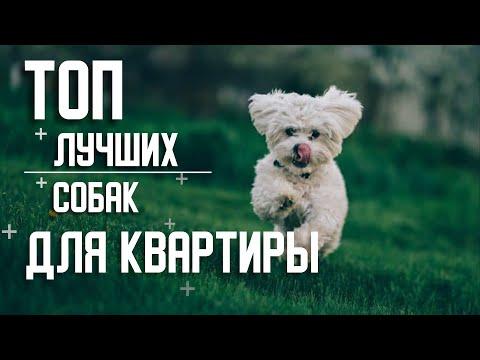 Вопрос: Какую собаку завести в квартире?
