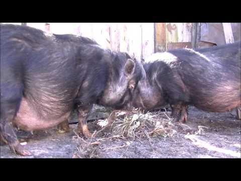 Вопрос: Сколько поросят в среднем приносит свиноматка?