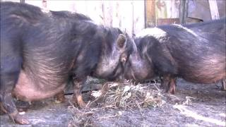 беременности у вьетнамских вислобрюхих свиней