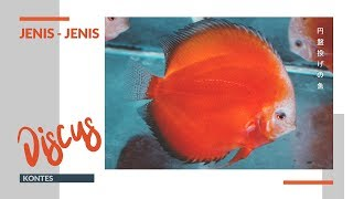 AgriStream TV - Jenis-Jenis Ikan Discus Kontes 2019