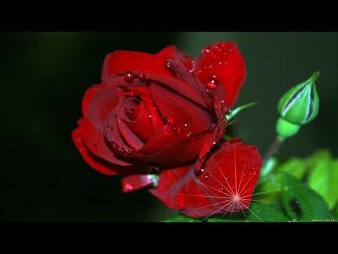 🌦 Roses In The Rain! . 🌹 .  (music Giovanni Marradi) 🌦