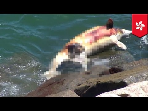 Dead dolphin: Chinese white dolphin corpse floats ashore in Hong Kong