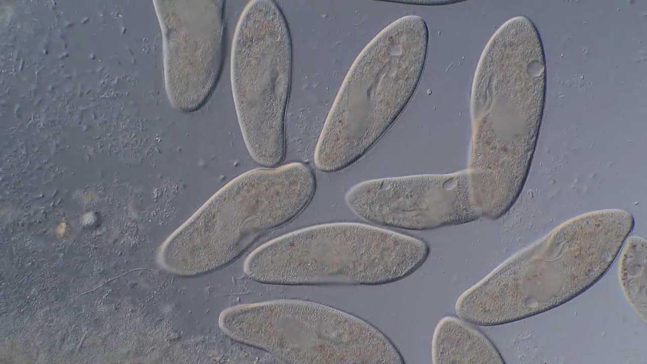 Paramecium Caudatum Im Interferenzkontrast