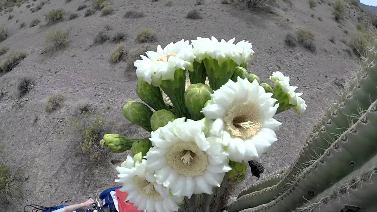 Saguaro Cactus Flowers Bloom For Less Than 24 Hour Youtube