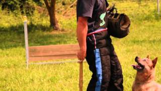Freddy Australian Cattle Dog Rci (ipo) Training.mp4