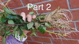 Rooting Practically Anything  Without Root Hormone. Part 2.