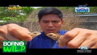 Born to Be Wild: Oriental Garden Lizard sightings in Laguna