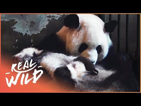 Land Of The Pandas [Panda Documentary] | Real Wild
