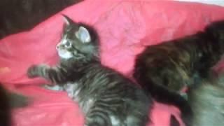 Тихий ужас! Котята непоседы  Мейн кун  Упитанные толстые серые полосатые тигрята