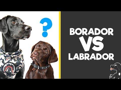 labrador-vs-borador---breed-comparsion-/w-buddy-the-borador