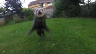Sam the Nutter Ferret