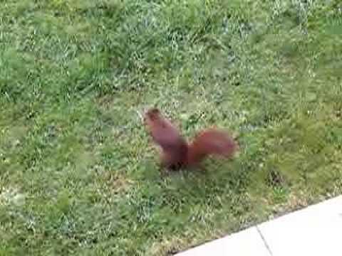 L'écureuil fait ses provisions...