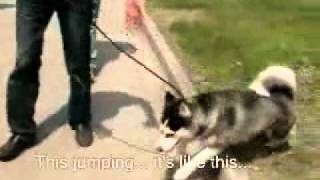 Husky Training | Husky Dog Training - Training not to pull on the lead