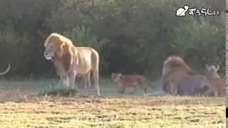 ライオン家族の生態 子ども同士の遊び、挨拶、オスとメスの役割など ラ...